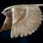 white-crowned-sparrow-detail5