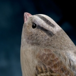 white-crowned-sparrow-detail8